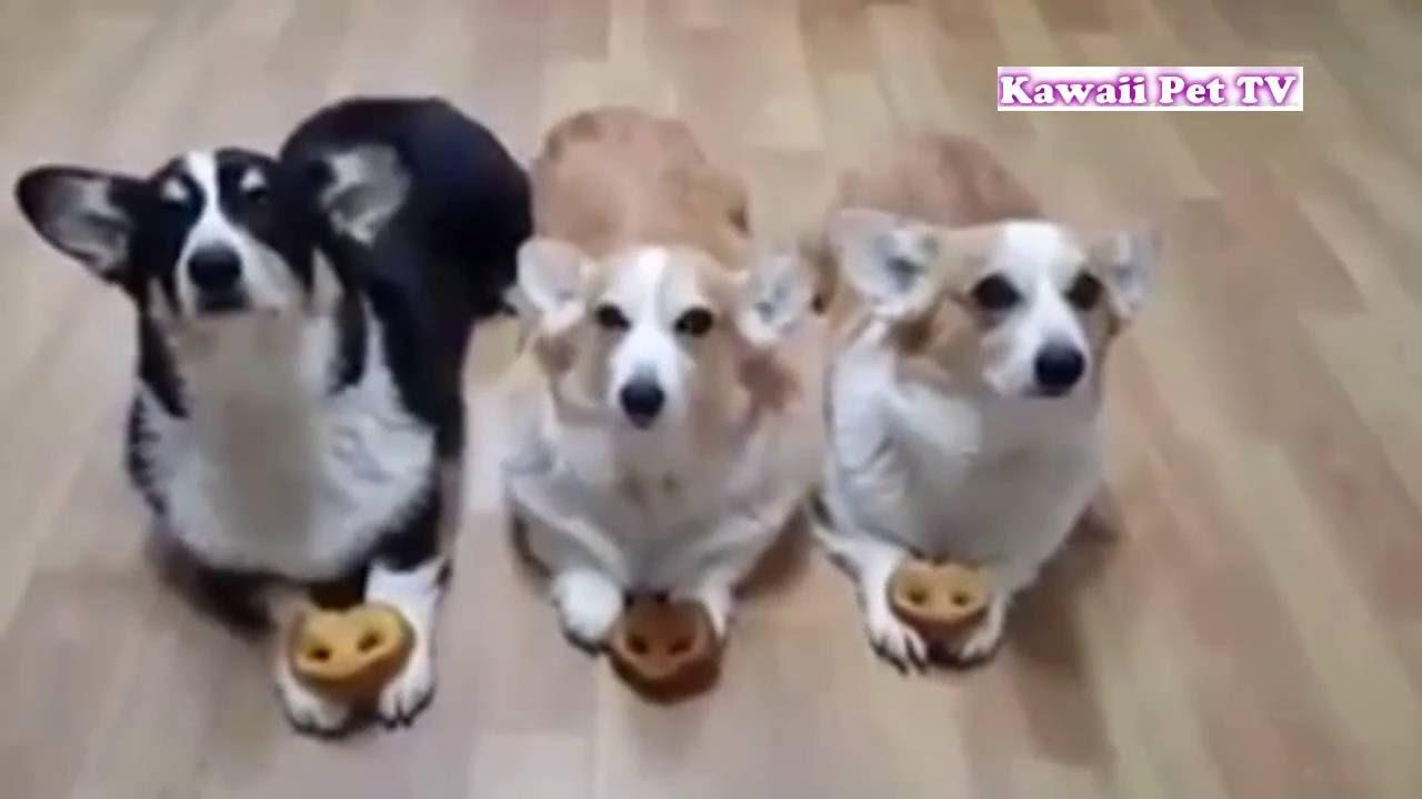 「おもしろ犬 」思わずに笑っちゃう犬の動画HD - 2016。面白すぎる #2