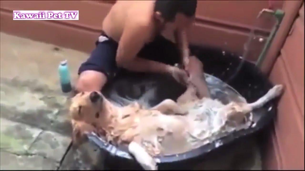 「最高におもしろ犬」 かわいいゴールデンレトリバーのハプニング, 失敗動画集